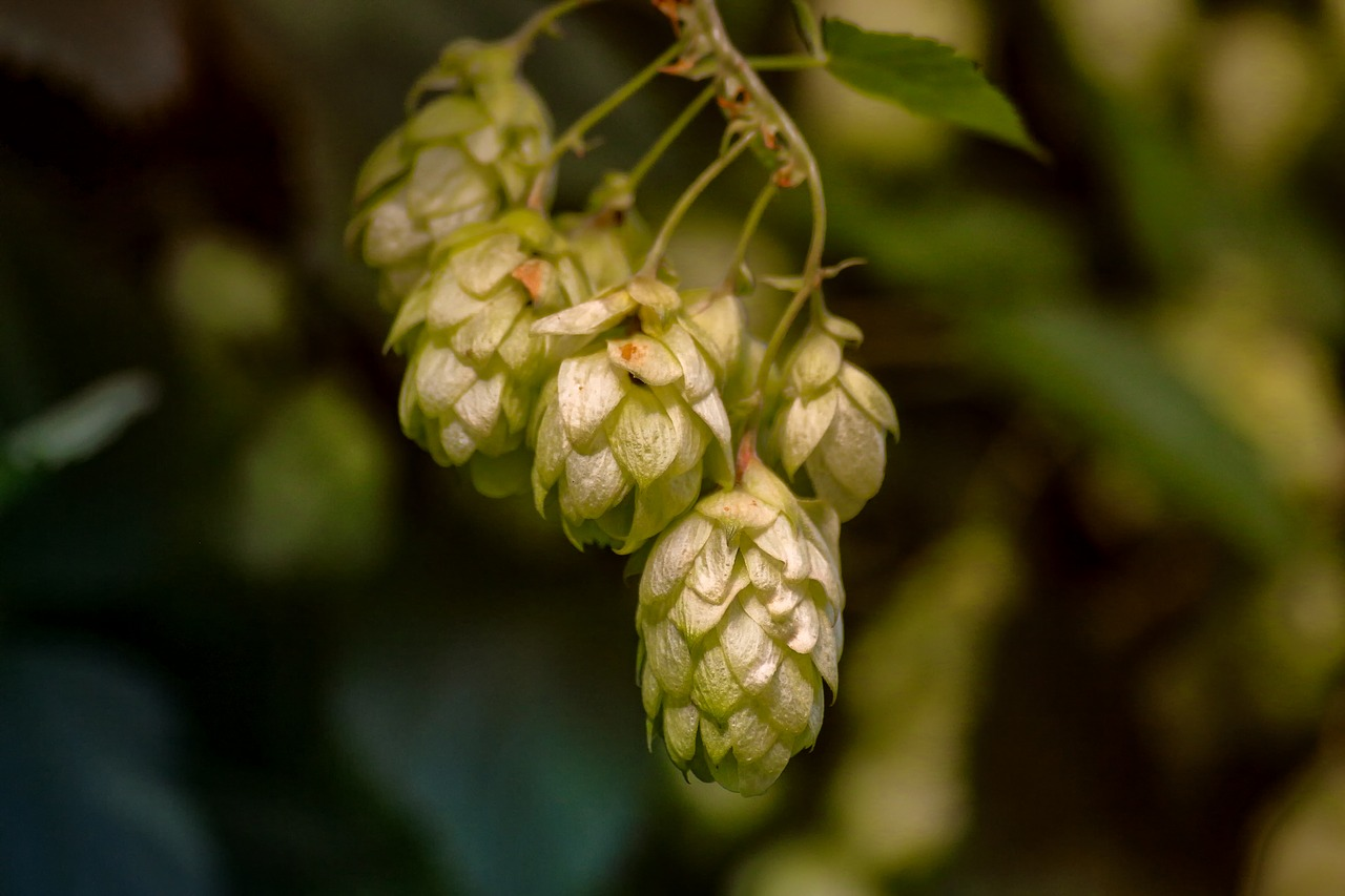Minnesota Hops Take a Giant Leap Forward Photo - Click Here to See